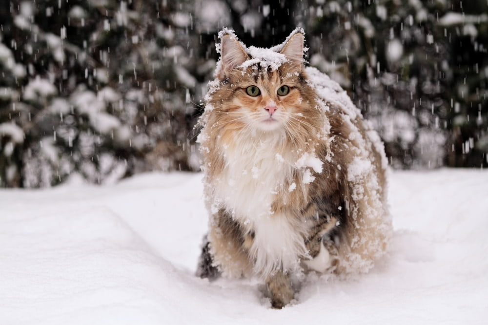 Snowy Norwegian Forest Cat