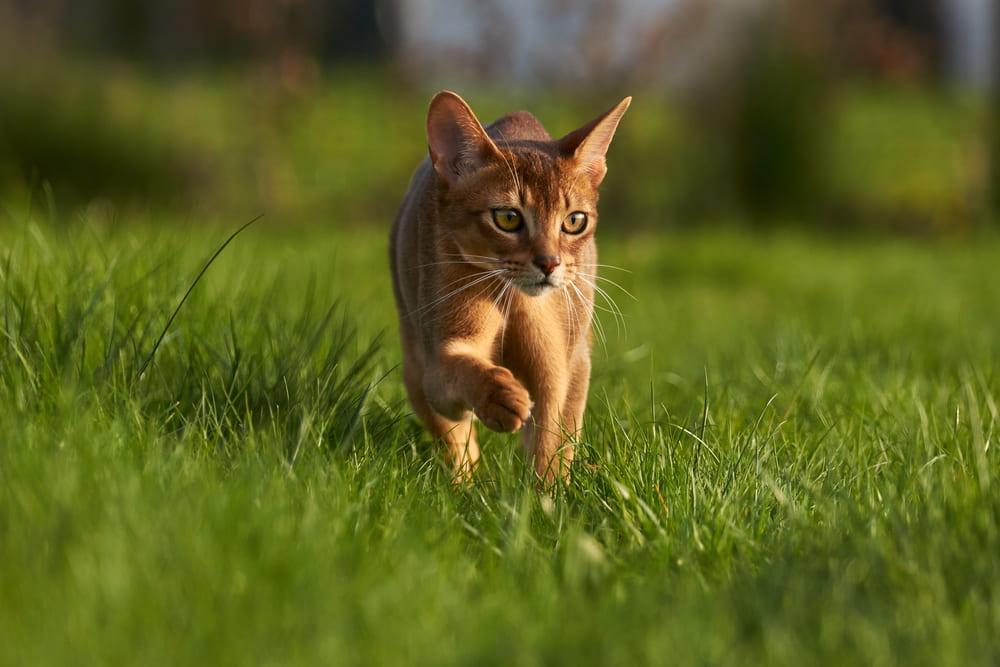 Abyssinian cat in backyard