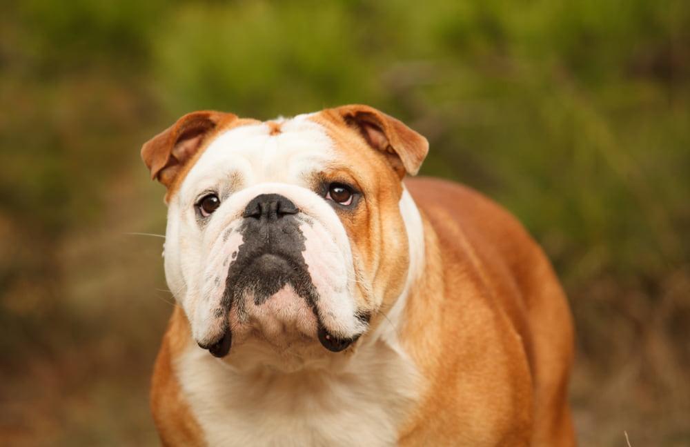 Closeup photo of Bulldog