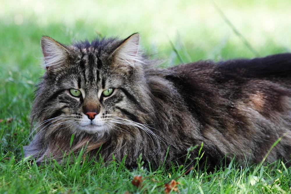 Norwegian Forest Cat in grass