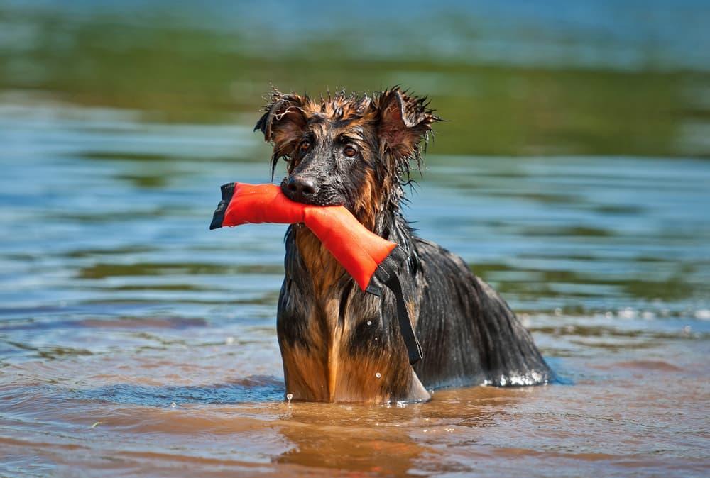 German Shepherd with water toy