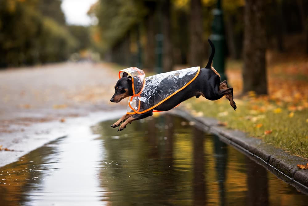 Dog in raincoat jumping over puddle