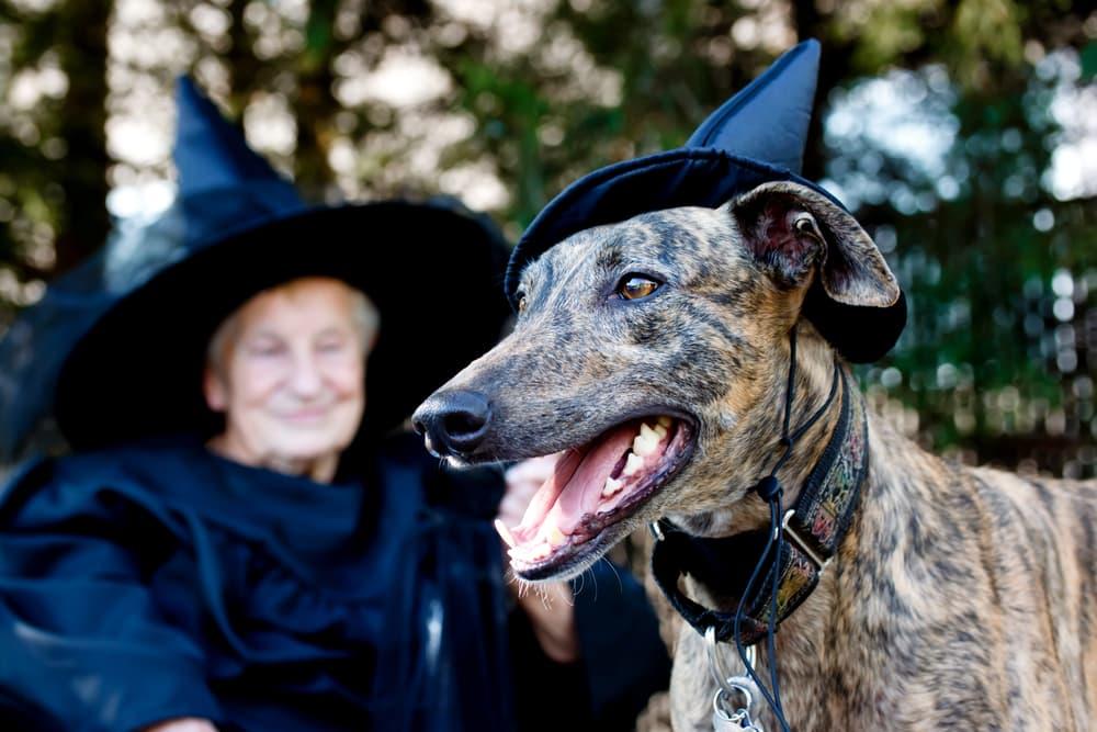 Greyhound in witch hat