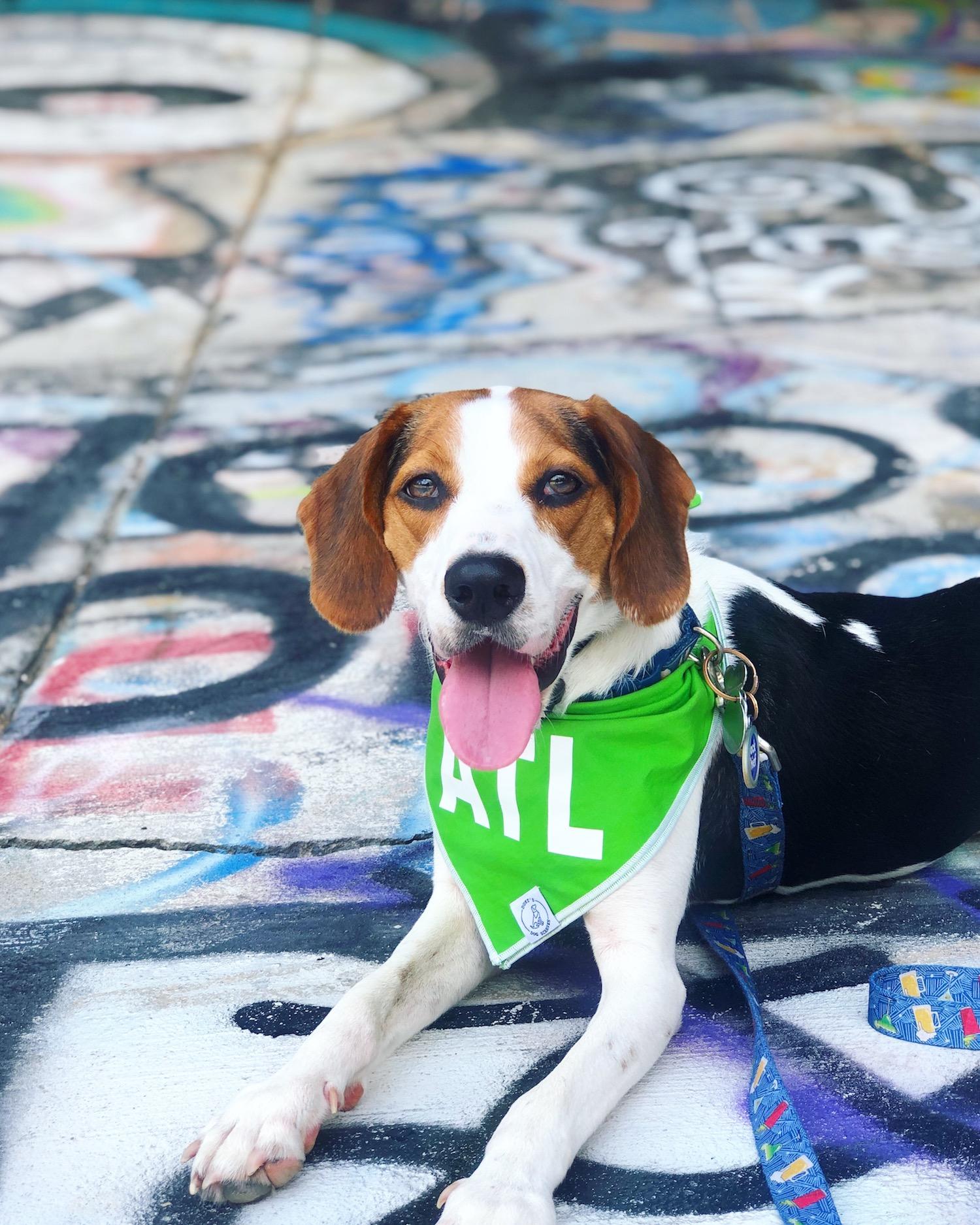 The same beagle pictured above wearing an ATL bandana.