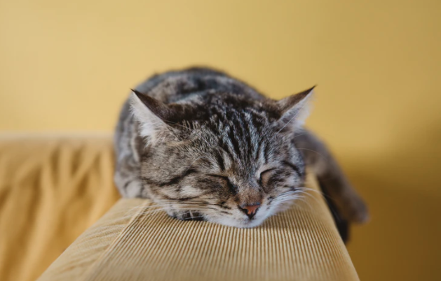 A brown cat sleeping on ledge of a tan couch with a yellow wall in the backdrop.