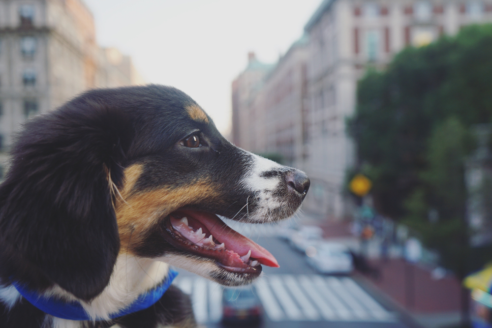 Dog Adoption in NYC: Top 5 Rescues to Choose From
