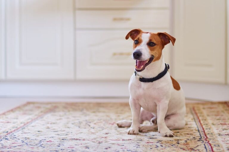 dog scooting butt on carpet