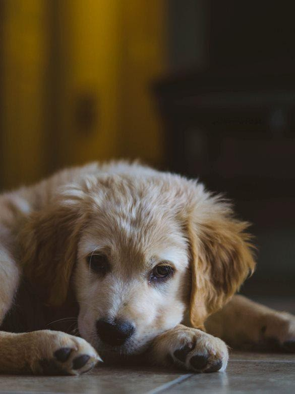 Golden Retriever puppy lays on the floor with their head on their paws.