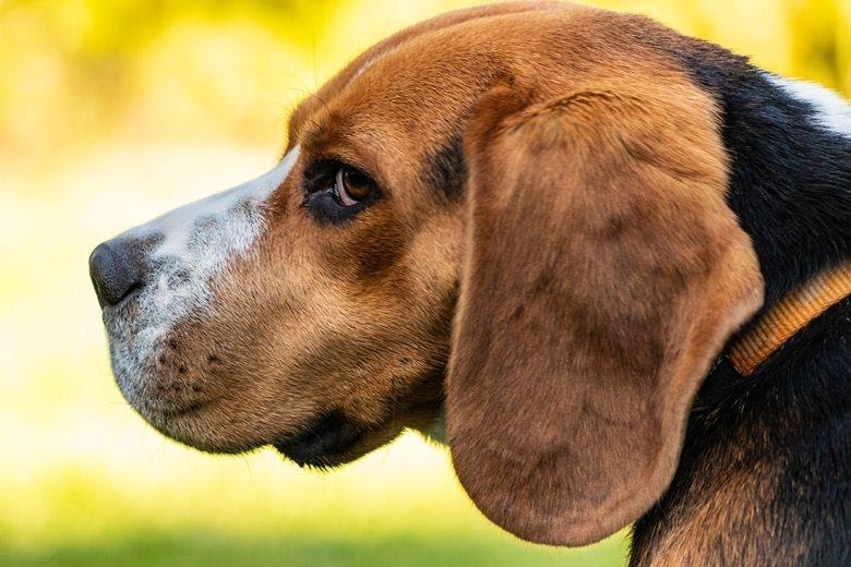 Profile view of a Beagle side glancing at the camera.