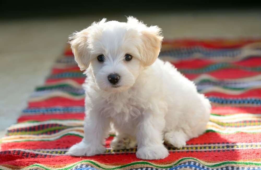 Puppy on carpet
