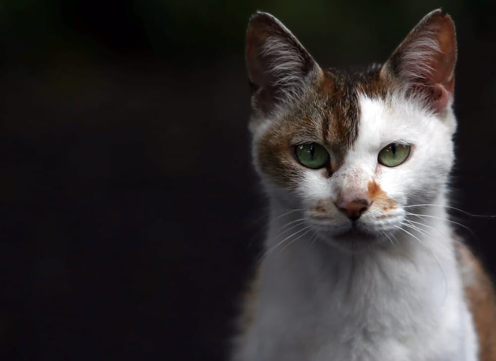 Boy cat staring at camera