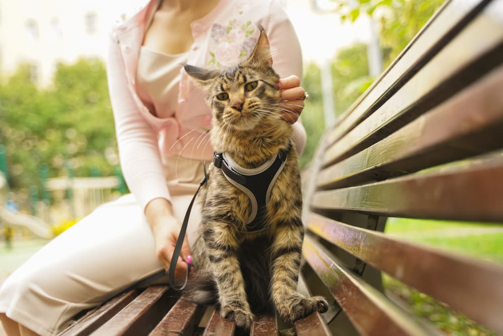Cat wearing a harness on a bench