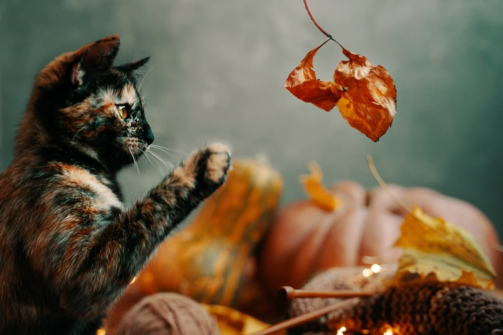 Cat with pumpkins and leaves