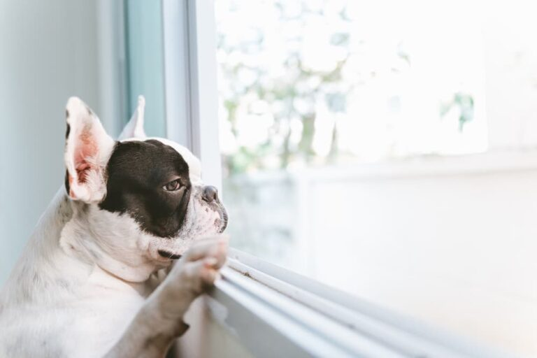 lonely French Bulldog looking out window