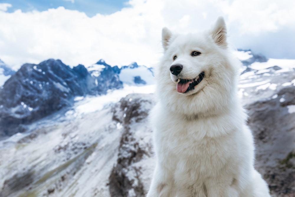 White dog on mountain hike