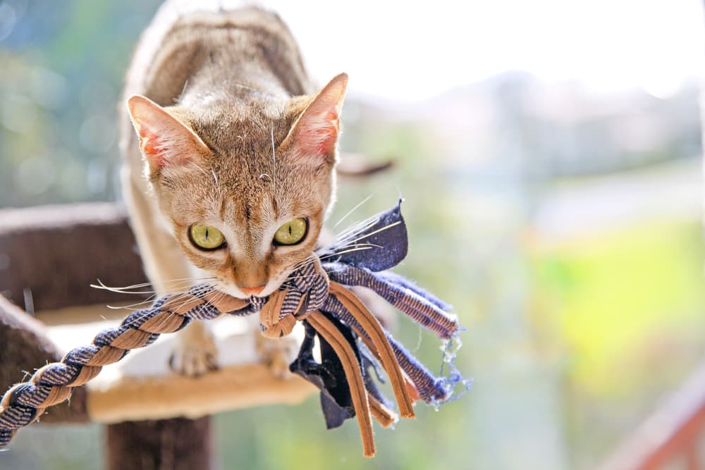 Cat playing with rope chew toy