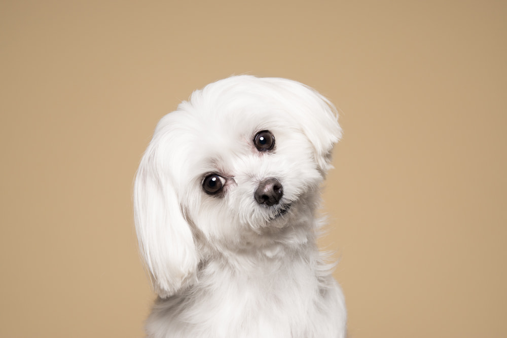 Cute white dog tan background