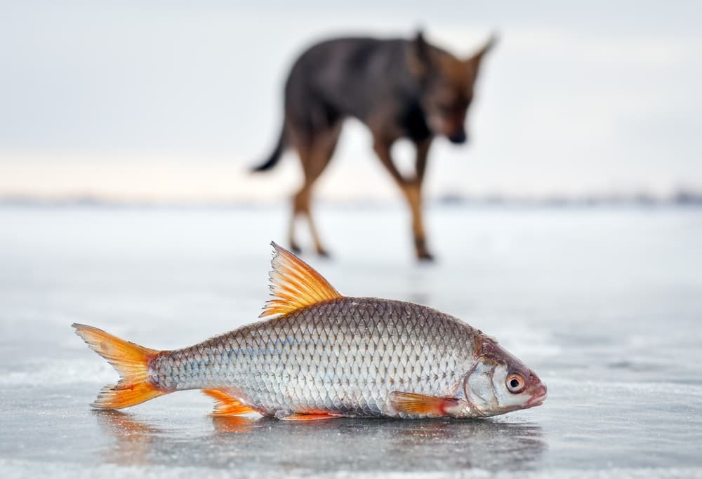 salmon on ice with dog in background