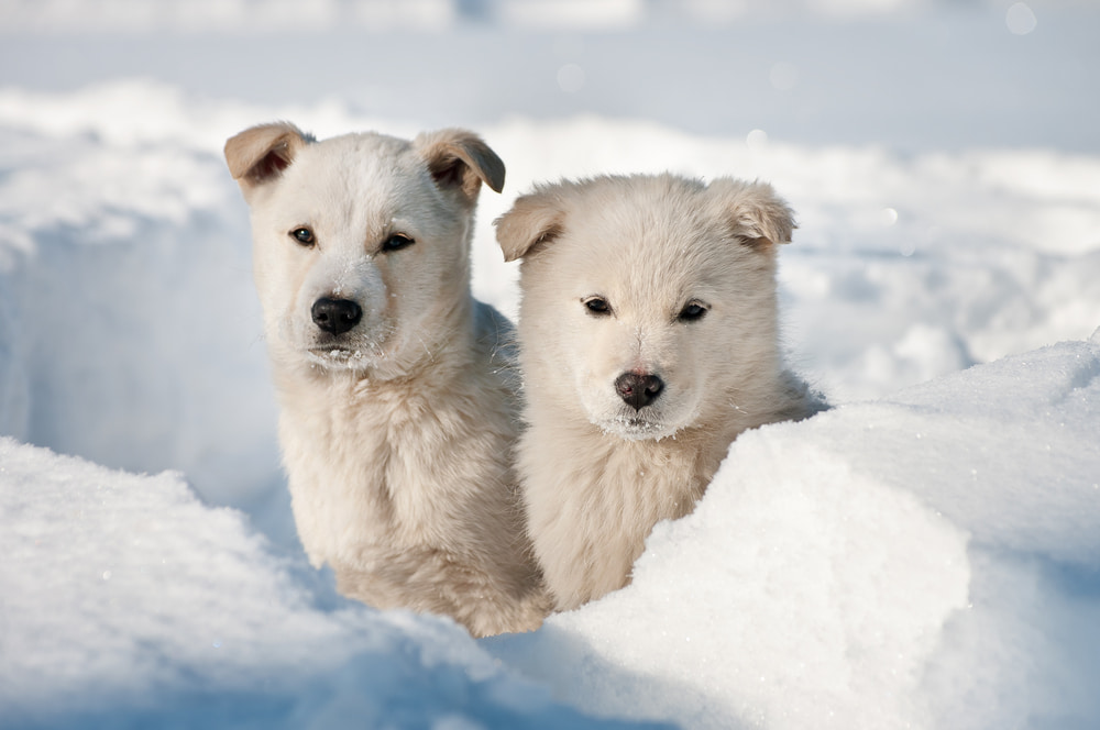 Two white dogs in the snow