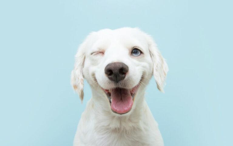 white dog blue background