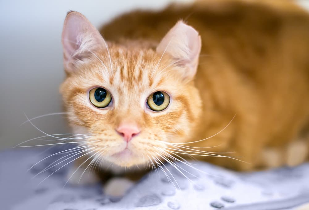Orange cat crouching and nervous
