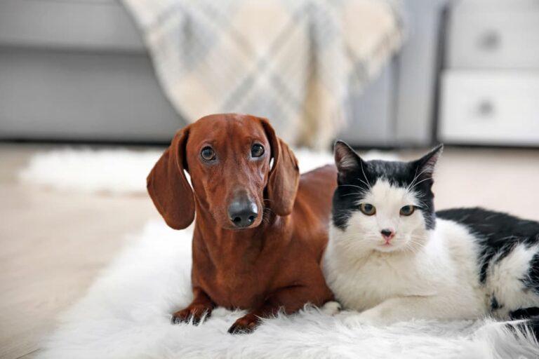 Dachshund and cat