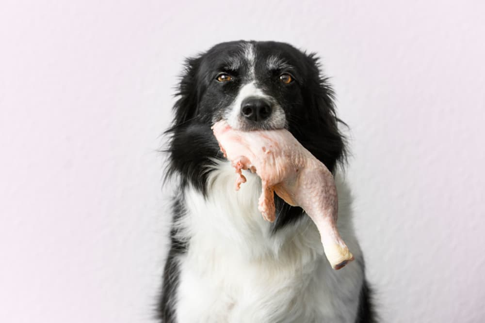 Can Dogs Get Salmonella?