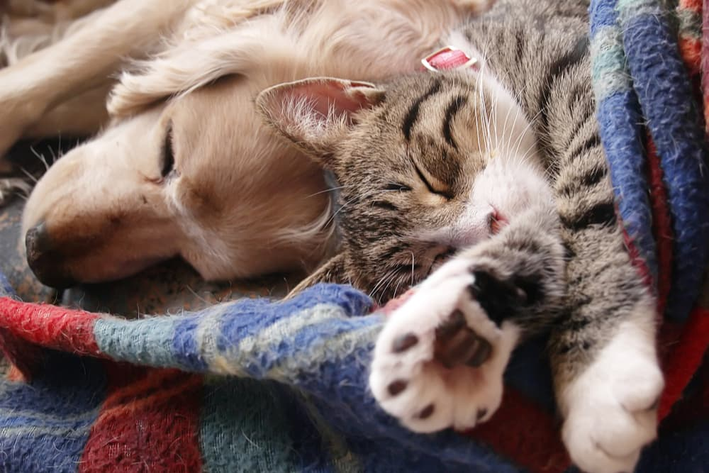 Cat and dog sleeping on a blanket together
