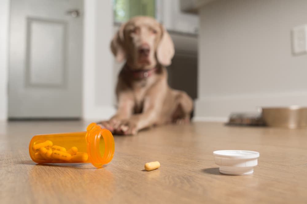 Dog with prescription pain pill in foreground