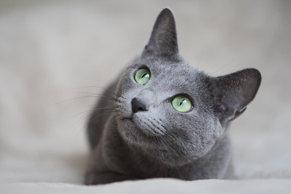 Russian Blue cat looking up to camera laying in bed at home
