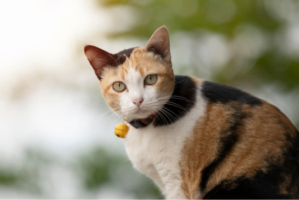 Cat outdoors with blurred background looking towards camera