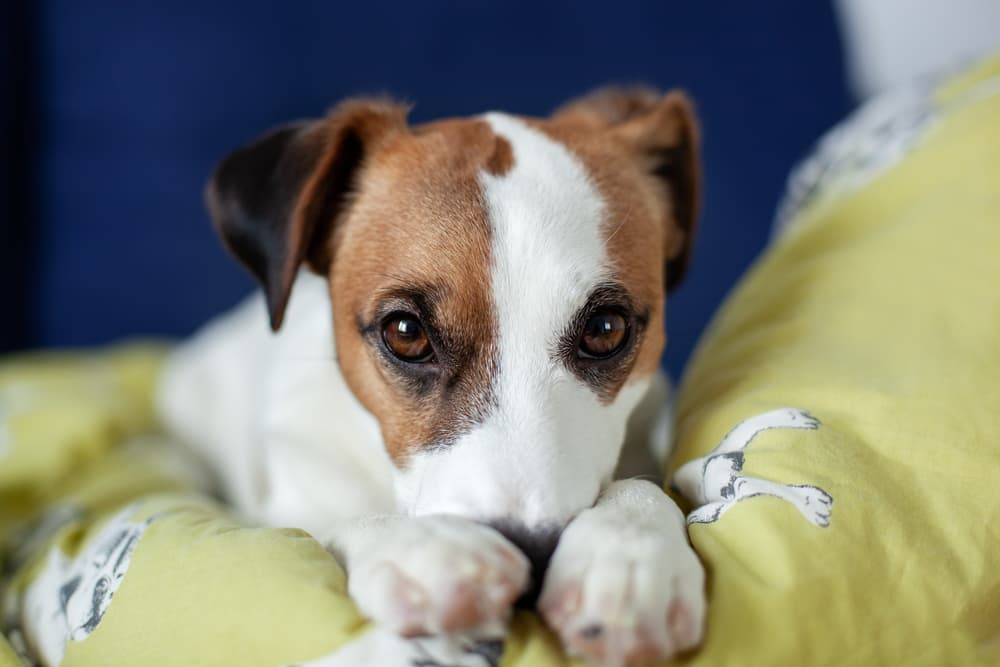 Dog looking sad and with nose tucked into paws laying on a couch