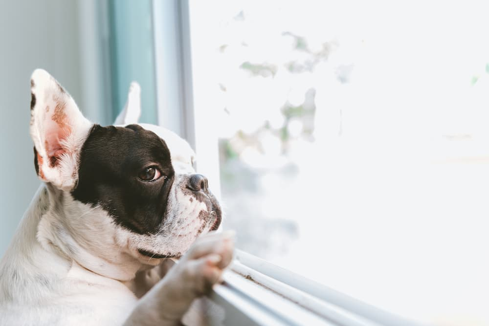 Dog waiting at window for owners to come home