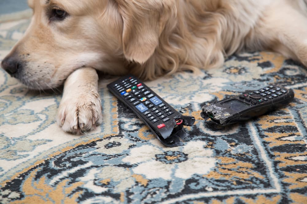 Dog sitting with chewed up TV remote because of loneliness