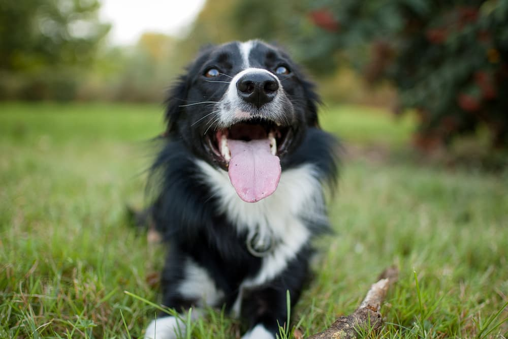 Dog relaxed and smiling playing with a stick outside
