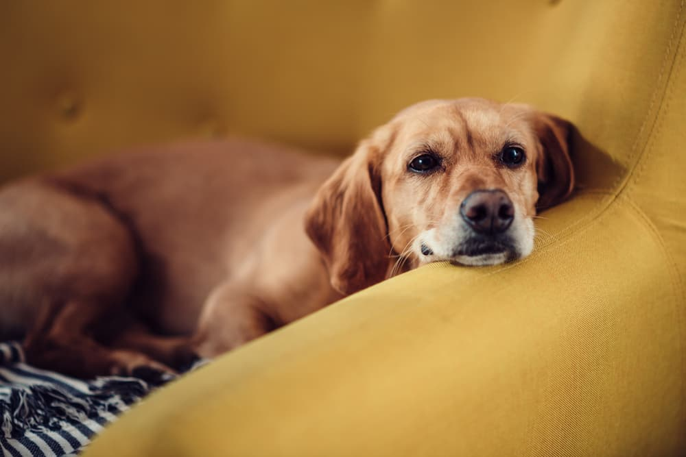 Dog relaxing and resting their face on the arm rest of a couch