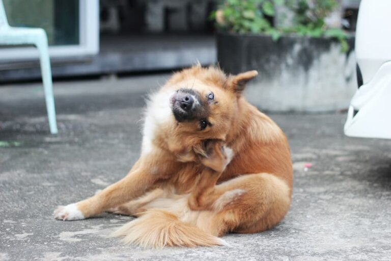 Dog itching ear