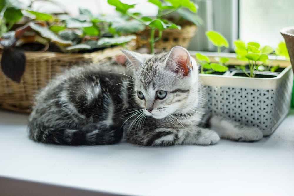 Grey kitten sitting on window next to variety of plants