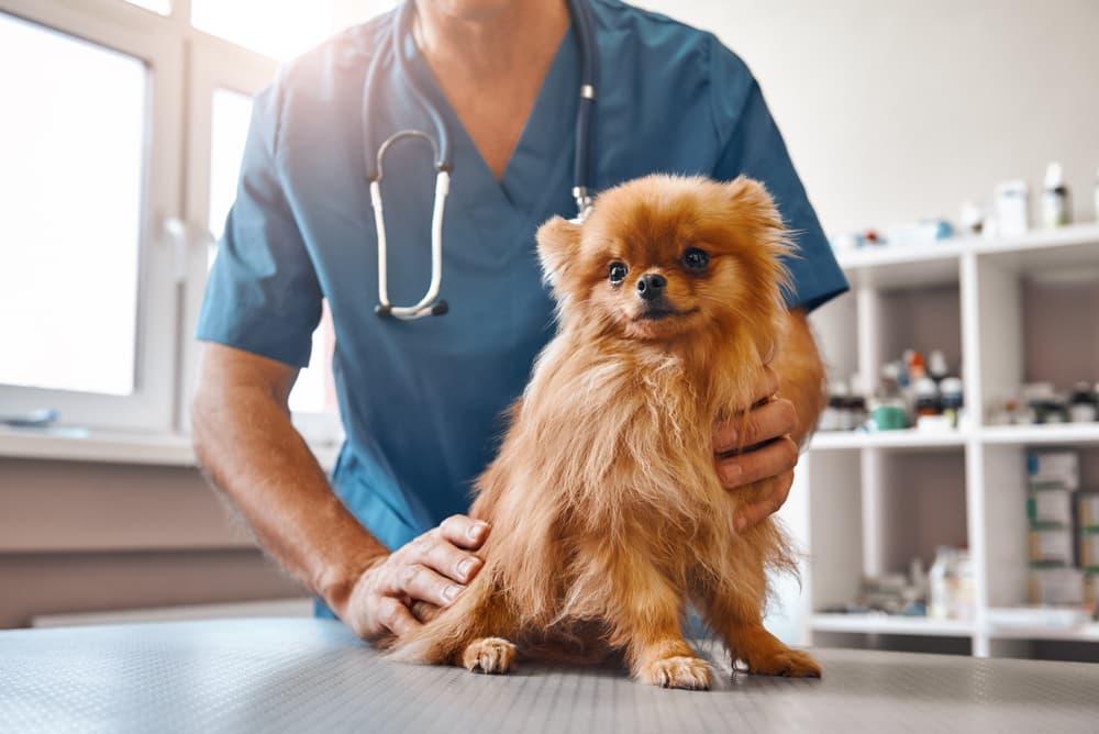 small dog at veterinarian
