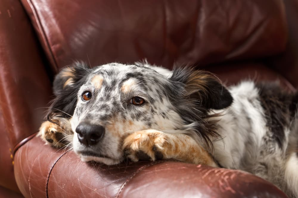 Dog laying on side of couch with head off the side looking lonely