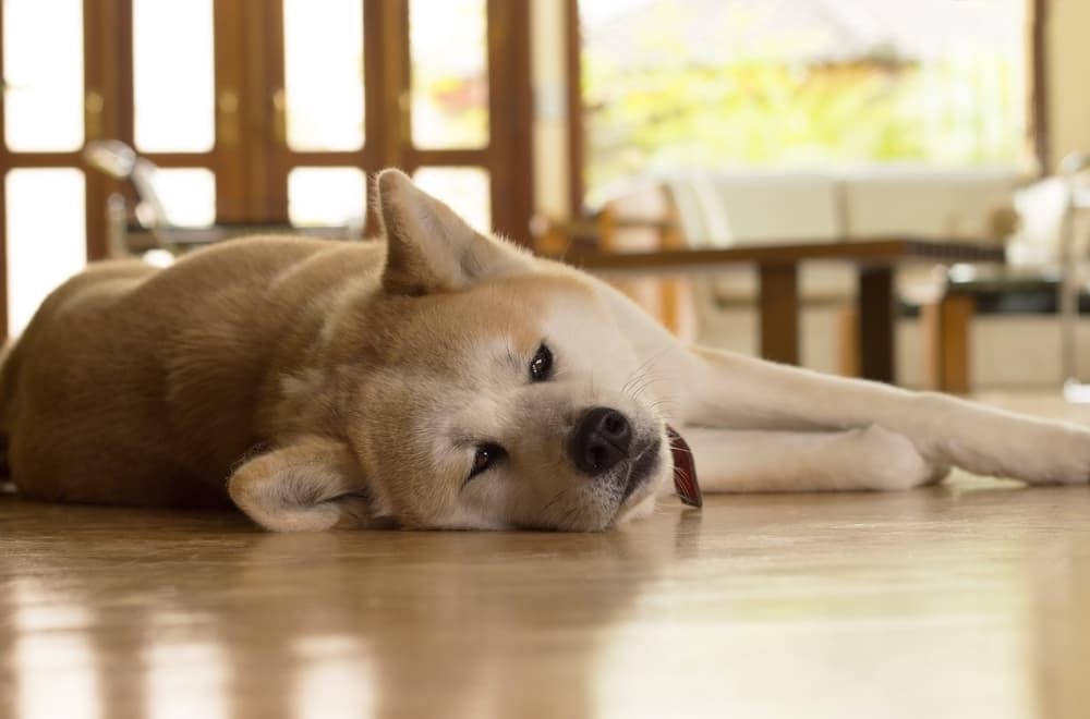 Akita dog acting sick