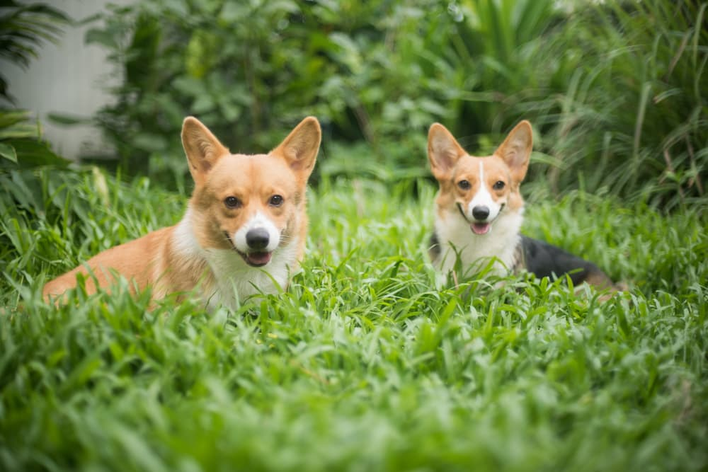 Two corgis that are very warm in summer sitting in the grass outdoors