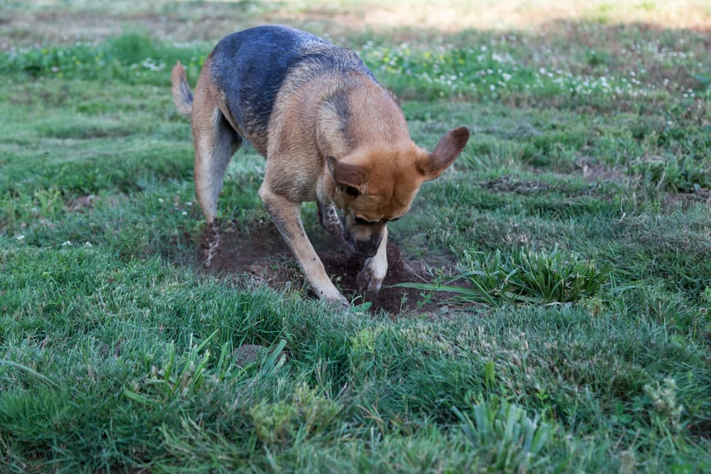 Dog digging hole in the ground