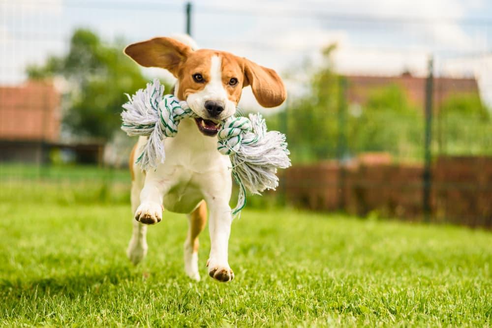 Active dog running