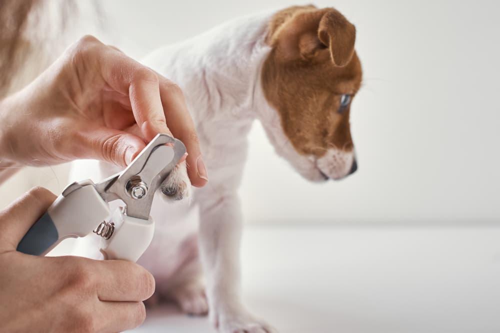 Dog having dewclaw cut from vet