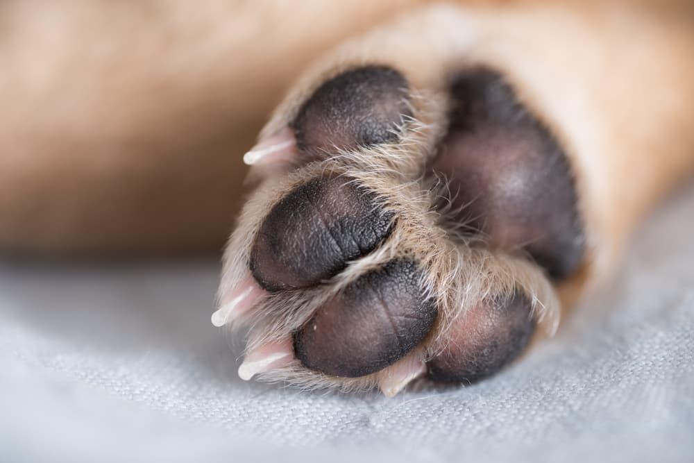 Close up of dog's paw