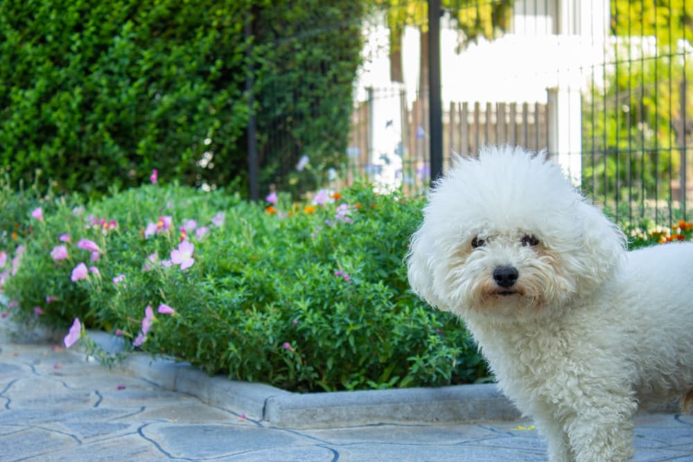 Dog looking at camera in a well fenced yard