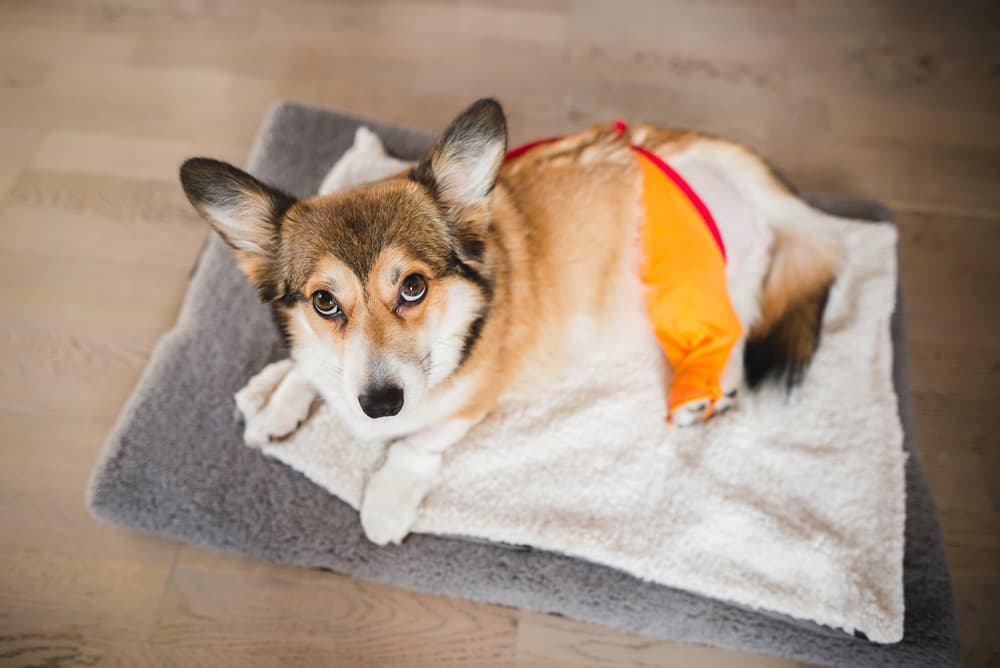 Dog recovering after surgery