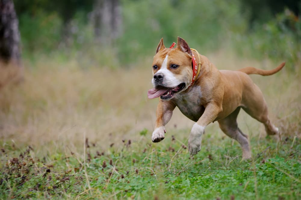 American Staffordshire Terrier running in a field