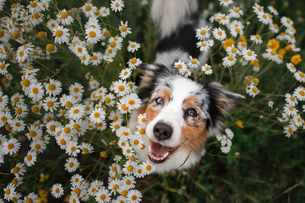 Dog standing in a field of flowers with a dry nose